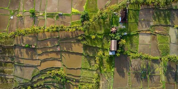 foto con dron de cultivo de arroz al atardecer