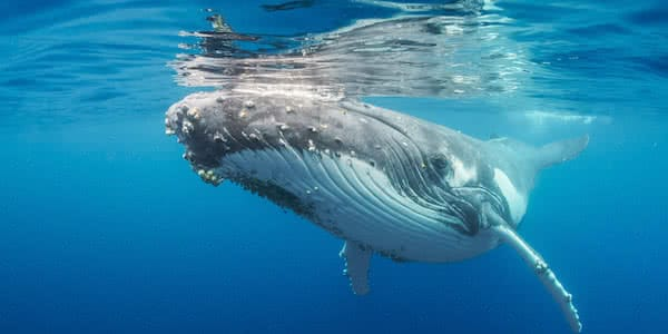 ballena tomando aire serenamente siendo monitorizada por dron anfibio