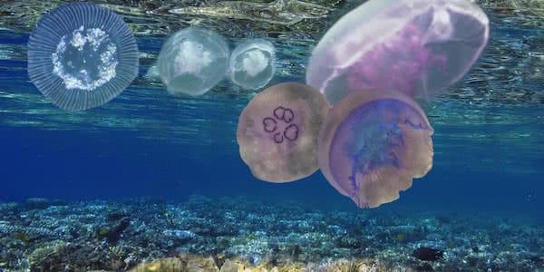 medusas flotando justo bajo la superficie del mar siendo analizadas por dron anfibio